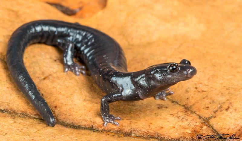 Santa Cruz Black Salamander