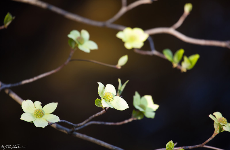 Pacific Dogwood flowering along the Merced River