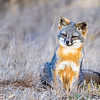 Channel Islands Fox