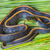 Santa Cruz Garter Snake