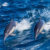 Long-beaked Common Dolphins