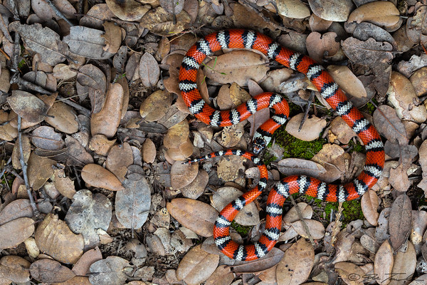 California Mountain Kingsnake
