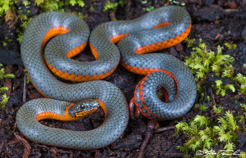 Northwestern Ring-necked Snake