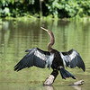 "Female Aningha.  In order to dive and search for underwater prey, the anhinga does not have waterproof feathers, making it barely buoyant.  This lack of buoyancy facilitates deep diving which opens up food sources not available to other birds.  However, the lack of oiled feathers means aninghas must spend time ""drying out"" (as above) between dives."
