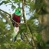 People come to this cloud forest from all over the world in hopes of catching a glimpse of the Resplendent Quetzal.  Shortly after we began our hike, we spotted a male quetzal in the distance.  He was in shade and obscured by tree limbs, but at least we'd seen him.  Little did we know how the rest of the morning would unfold.  Not long after our initial sighting, we heard a quetzal calling.  We rounded a curve and stopped on a dime.  This male was the one who had been doing the talking.