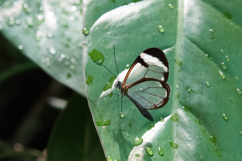 Glass-wing butterfly (the wings are totally transparent).
