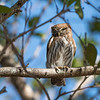 Since we hadn't seen many owls, Yehudi took us to his friend's lodge near San Jose.  Pygmy owls live in the trees on the property.  Unlike most owls, these tiny raptors (about 6 inches long) hunt during the day by sitting quietly and waiting for something to come by.  They may be small, but they're ferocious.