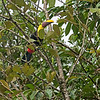 Black-Mandibled Toucan.  Poor photo, but it's the only toucan we saw.