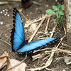After the rainbow dissipated, we stopped at a butterfly research station.  This is a blue morph, a really huge, really beautiful butterfly.