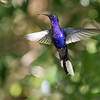 Violet sabrewing, the largest hummingbird in Costa Rica.  To me, it was also the most beautiful.  You wouldn't believe how many photos I tried to take of the sabrewings.  Regardless of whether they were at feeders or flying around in the wild, they seemed to find very dark spots in which to hover, meaning most shots were blurry.  I got so excited when I came across the ones in focus, I stuck most of them in the gallery :)  Just kidding.