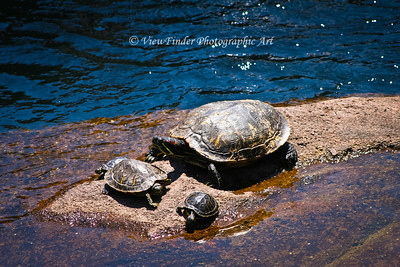 Family of Turtles at Play