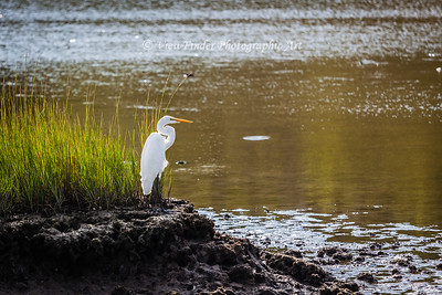 "This Great Egret waits for his next ""dinner guest"" as he enjoyes the evening sun by the water."