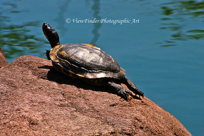 Turtle enjoys the warm sun by the water.