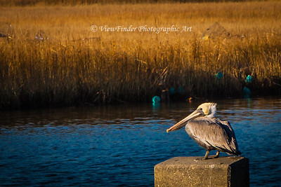 Pelican takes a break from fishing the waters near Messick Point in Poquoson, VA.