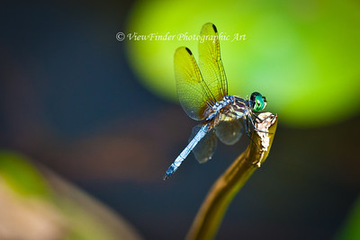 Common Hawker Dragonfly at rest