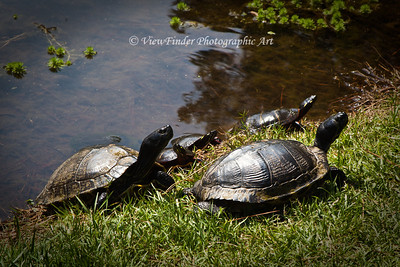 Time to get out of the water kids!  Family of turtles stay close to each other.