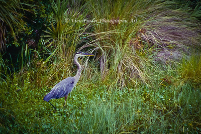 Blue Heron drops in for a visit at the Brevard Zoo. Bet he's looking for a free meal!