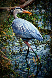 Blue Heron at home in the Audubon Swamp at Charleston, SC