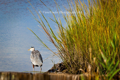 Ruffled feathers indicate this Blue Heron has been busy fishing his favorite saltwater marsh.