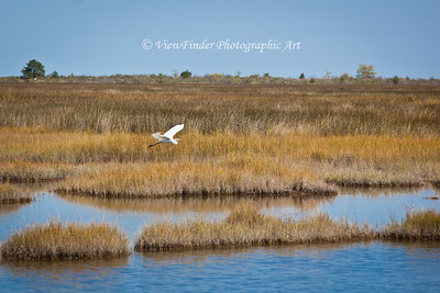 Great White Egret surveys the potential for dinner at Messick Point.