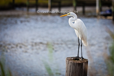 Great Egret Watches Over His Domain