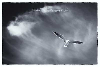 A lone gull glides above the waters of the Chesapeake Bay, looking for that next meal.