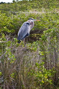 Blue Heron in the Merrit Island Wildlife Refuge, Florida
