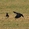 Noticeable size difference between a crow and a blackbird.