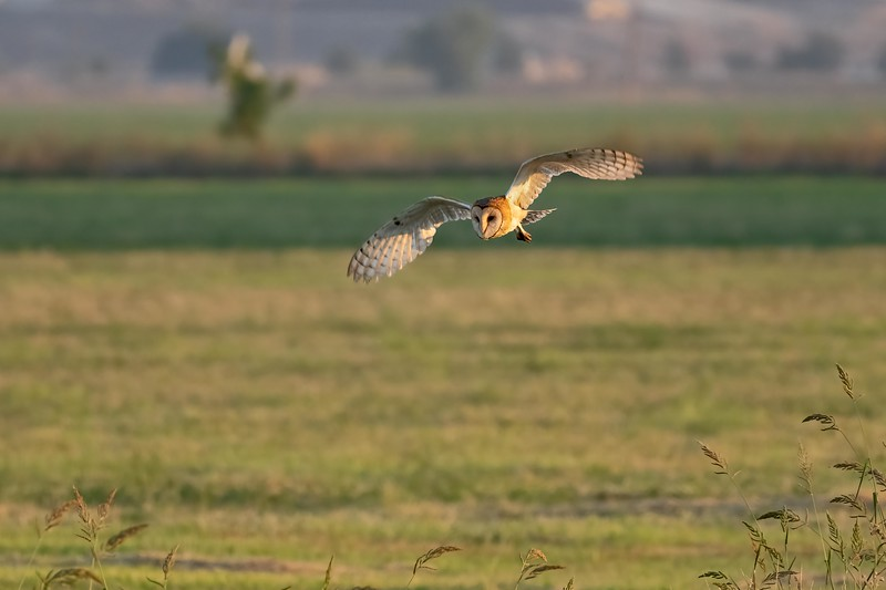 A few of us drove to a wetlands area in Davis to see ibis, plus whatever else happened to fly by.  Shortly after we located a small flock of ibis, this is what flew by..... a beautiful barn owl.  First time I've ever seen a barn owl in flight during the day, although it was still very early morning (around 6:45 am).