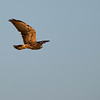 Think this might be a juvenile Swainson's hawk.