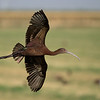 White-faced ibis.  (Not cropped.... these birds see a lot of humans)