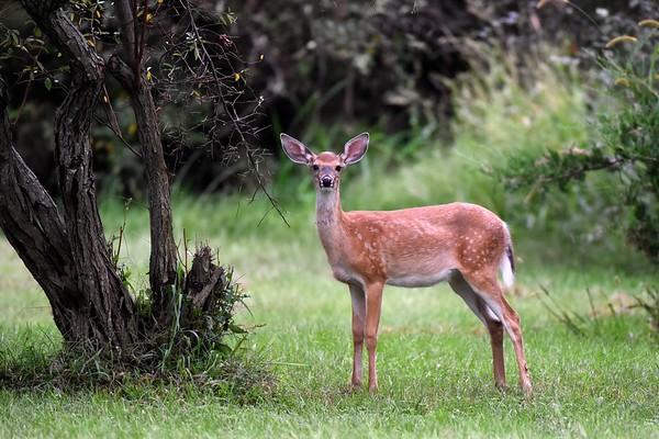 Deer 9-5-15 009