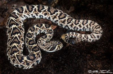 Eastern Diamond-backed Rattlesnake