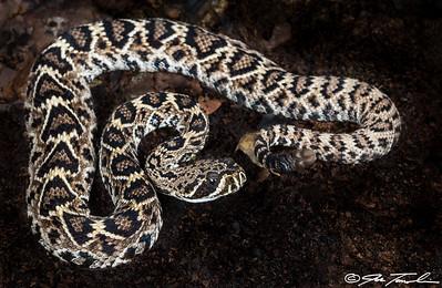 Eastern Diamond-backed Rattlesnake