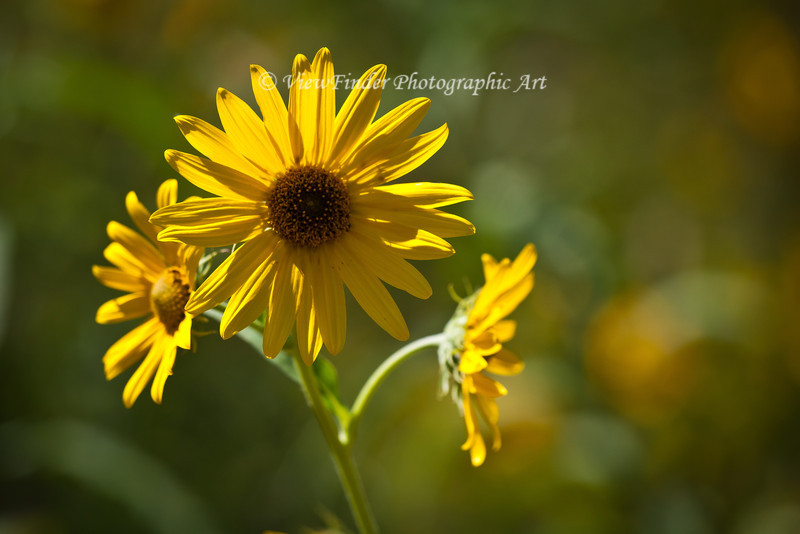 Yellow Cone Flower, backlit by afternoon sun.