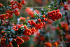 The bright orange berries on this Pracantha shrub provide a colorful fall scene at its best.