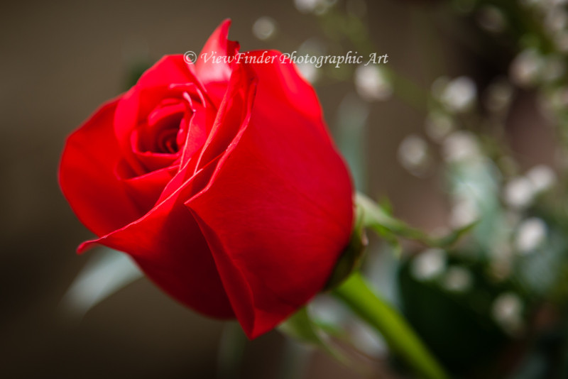 The Red Rose is a powerful symbol of life's strongest emotion -- Love.  May your life be filled with roses!