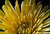 Yellow Mum in full bloom