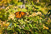 A Monarch Butterfly enjoys the gardents at Colonial Williamsburg