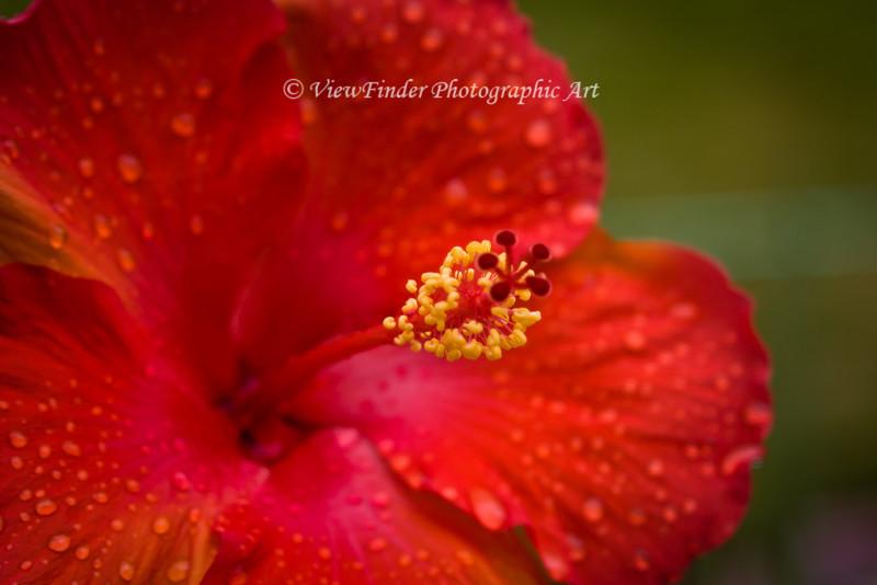 Red Hibiscus Up Close