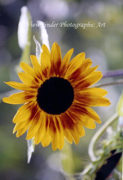 Sunflower 040839_7