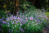"Blazing Star (Liatris Spicata) ""Alba"" - Asteraceae (Aster Family)"