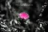 The pink bloom in the midst of a black & white image sets the color up as a focal point.