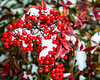 The bright red color of these berries compliment a light morning snow and provide a happy greeting for this winter day!