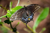 The Spicebush Swallowtail butterfly is black with shiny blue or green wings. It has blue between two rows of orange spots on the underside of the hind wings and the colors on the upper side of the hind wings have one row of white spots.