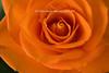 Orange_Rose-7
