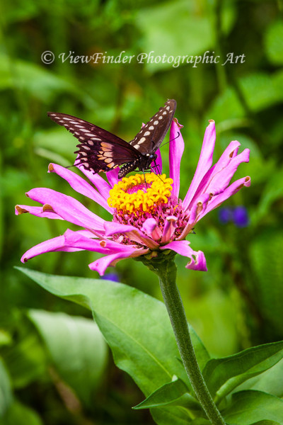 Swallowtail butterfly enjoys feeding on a garden flower, and provides a great photo op as well.