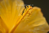 Macro imave focused on the pistil of a yellow hibiscus.