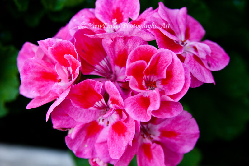 Pink geraniums in backyard, Smithfield VA