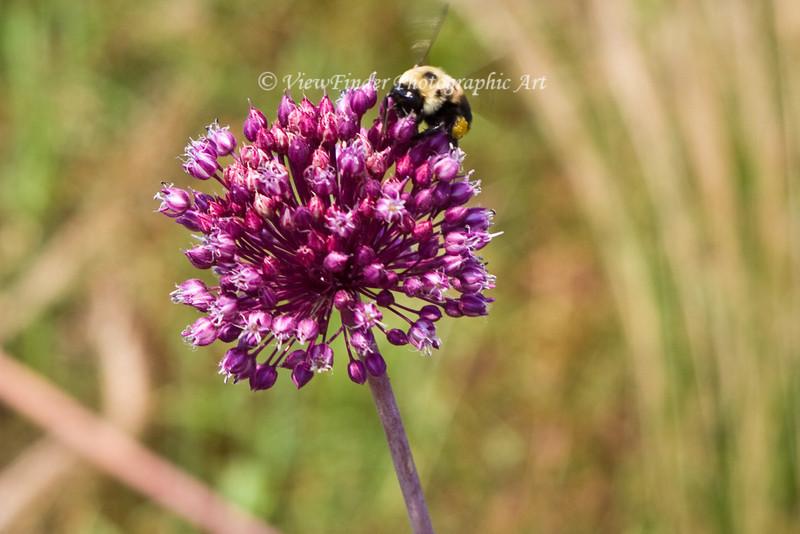 Bumble Bee feeding on Yorktown Onion